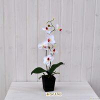 Orchidea Phalaenopsis Vanda