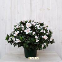 Azalea artificiale rustica bianco/rosa