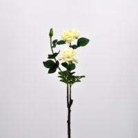 Rosa piccadilly bianco