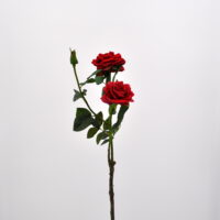Rosa Piccadilly rosso