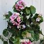 P. Geranio artificiale pelargonium cadente rosa
