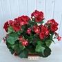 P1 Geranio artificiale pelargonium rosso bne