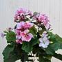 P. Geranio artificiale pelargonium rosa