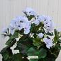 P. Geranio artificiale pelargonium bianco