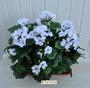P1 Geranio artificiale pelargonium bianco bne