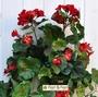 P. Geranio artificiale pelargonium cadente rosso